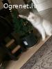 Pazudis balts Kaķis